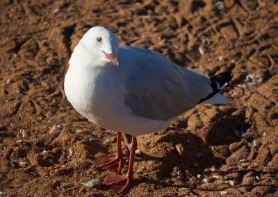 Seagull Looking at Photographer