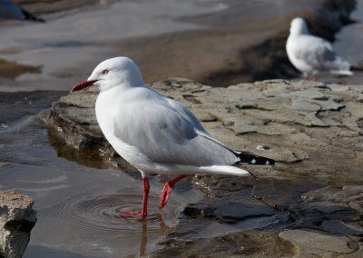 Seagull On Dee Why Beach