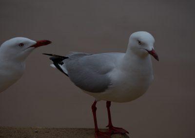 Dee Why Beach Seagulls