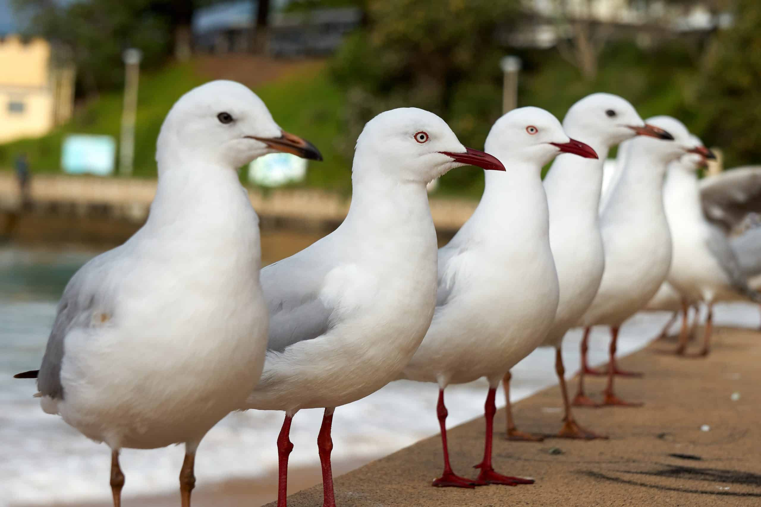 Dee Why Promenade Seagulls Perched