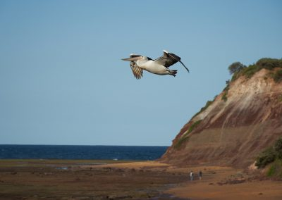 Pelican Flying From Headland