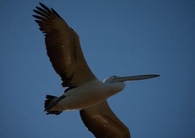 Pelicans_Flying Overhead
